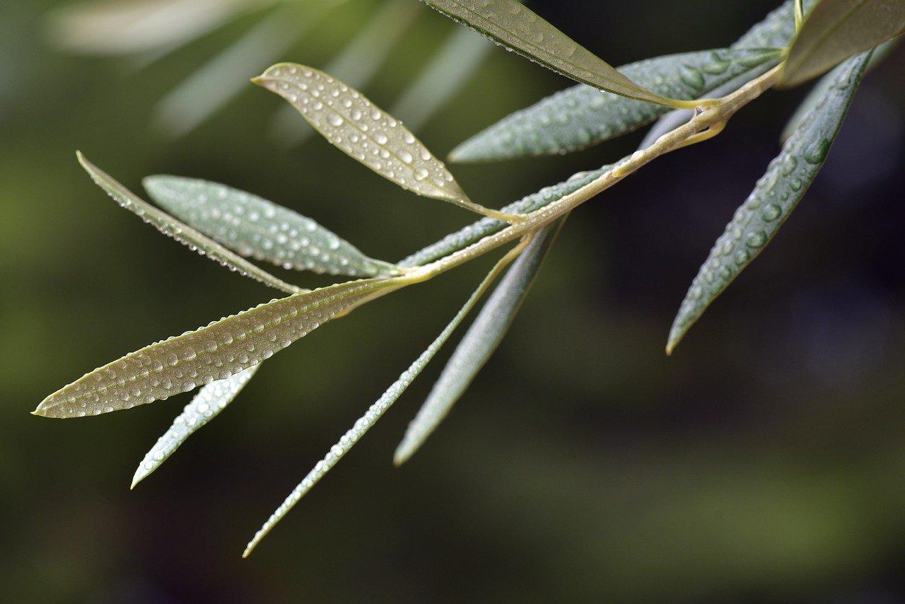 hojas de olivo para la tension