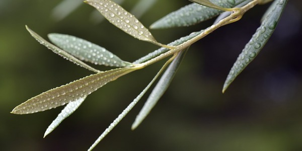 Hojas de olivo para la tension alta